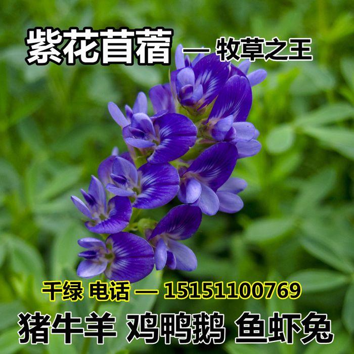 紫花苜蓿种子猪牛羊兔鸡鸭鹅多年生四季养殖牧草苜蓿草籽鱼草种籽