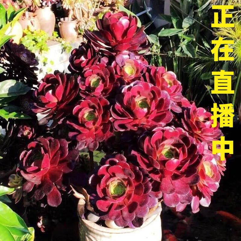 黑法师 多肉植物锦多肉法师系列老桩肉肉万圣节花卉绿紫羊绒盆栽
