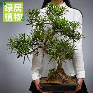 绿居罗汉松大盆栽室内绿植树桩