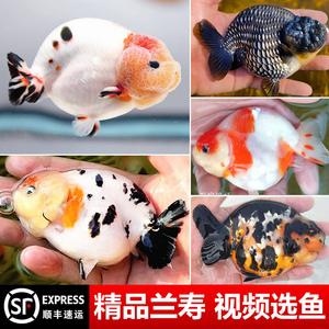 精品兰寿金鱼活体观赏鱼三色奶牛重墨玉兔纯种苗潘氏冷水淡水好养