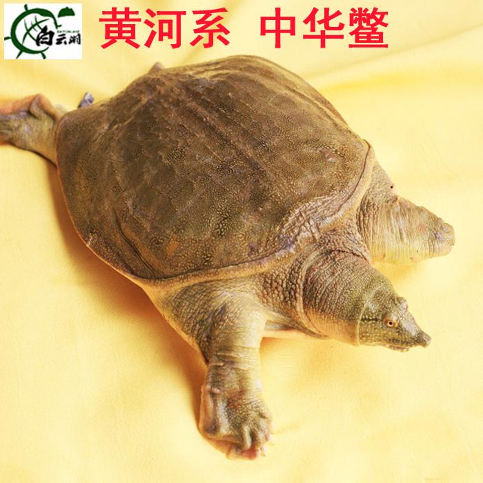 3-4年龄1.5斤野外养白云湖大甲鱼活体团鱼水鱼王八中华鳖鲜活包邮
