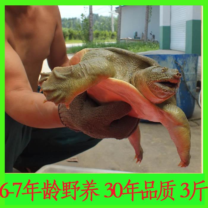 6-7年龄1500克3斤野养白云湖甲鱼外塘放养王八中华鳖团鱼鲜活包邮