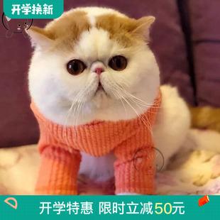 宠物猫纯种加菲猫活体红白净梵红小胖幼猫波斯猫网红猫异国短毛猫