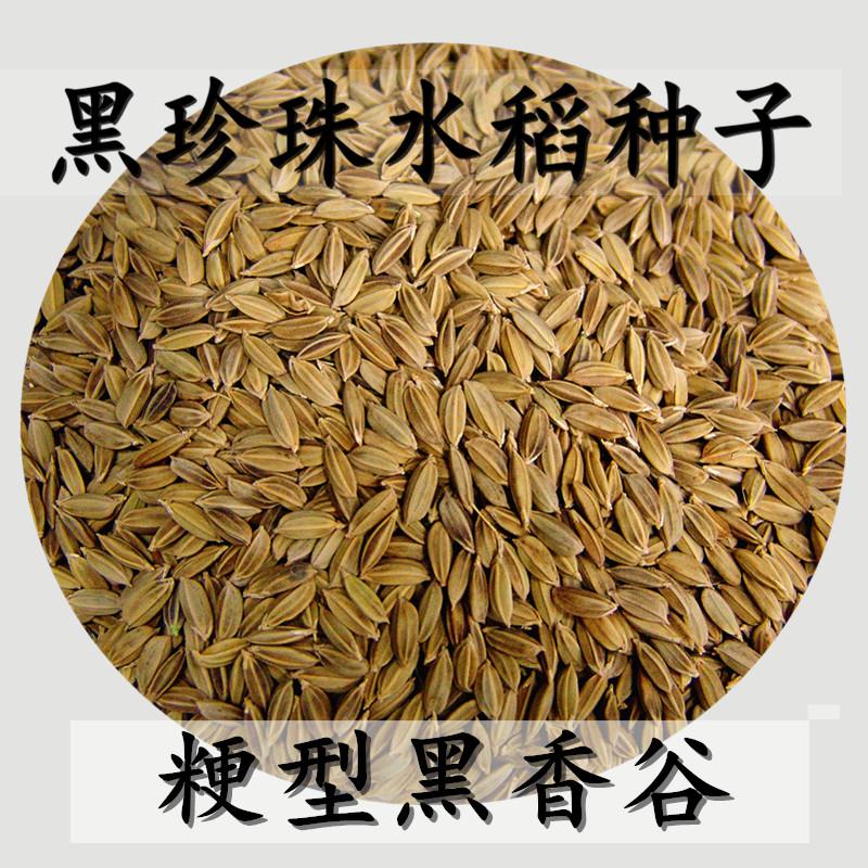 Big ear Black Pearl Black fragrant rice rice seed black rice seed black rice 500g full 20 jin package mail