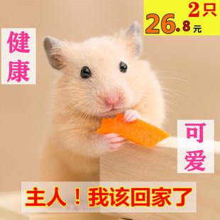 小仓鼠活物打过疫苗稀有宠物好养苍鼠宠物情侣一对网红活的小老鼠