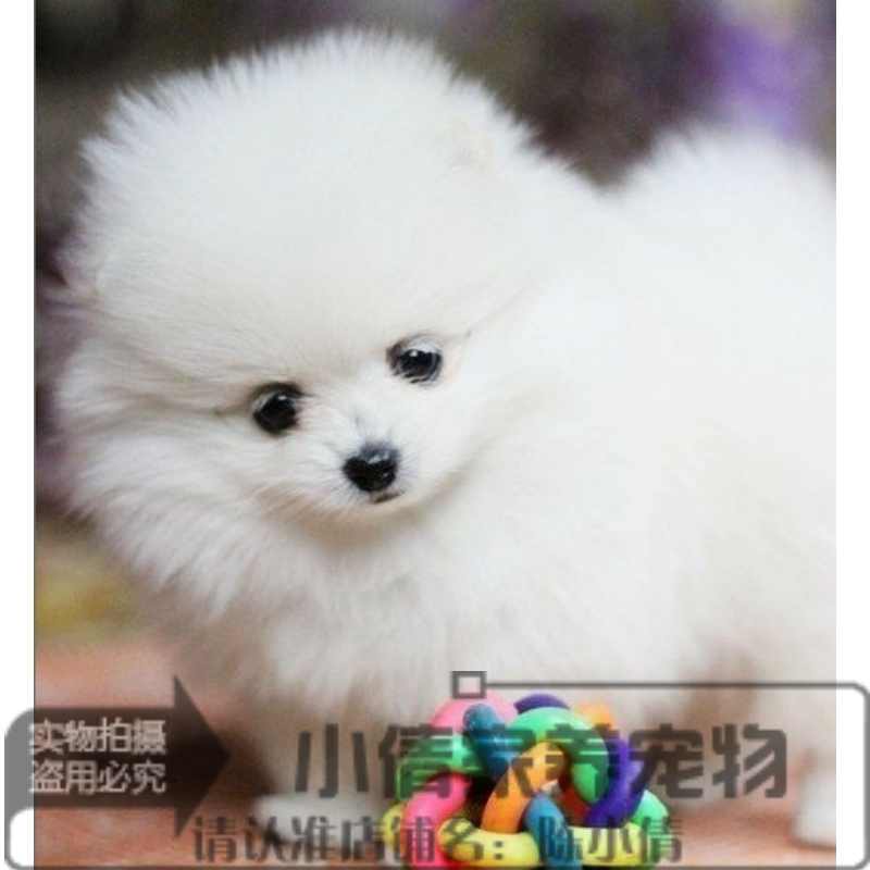 Smart, sweet, Pooh, puppy, pet dog, family pet, living support, Alipay health guarantee Q