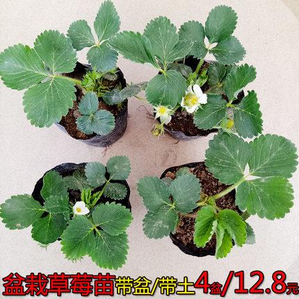 四季盆栽草莓苗室外北方地栽南方阳台草莓盆栽带盆带土当年结果树
