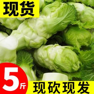 重庆儿菜新鲜娃娃菜子母菜抱儿菜泡菜新鲜蔬菜芥菜小儿仔榨菜5斤