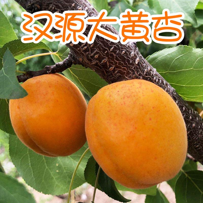 杏子新鲜水果现摘当季整箱酸甜孕妇应季大黄杏农家批包邮图片