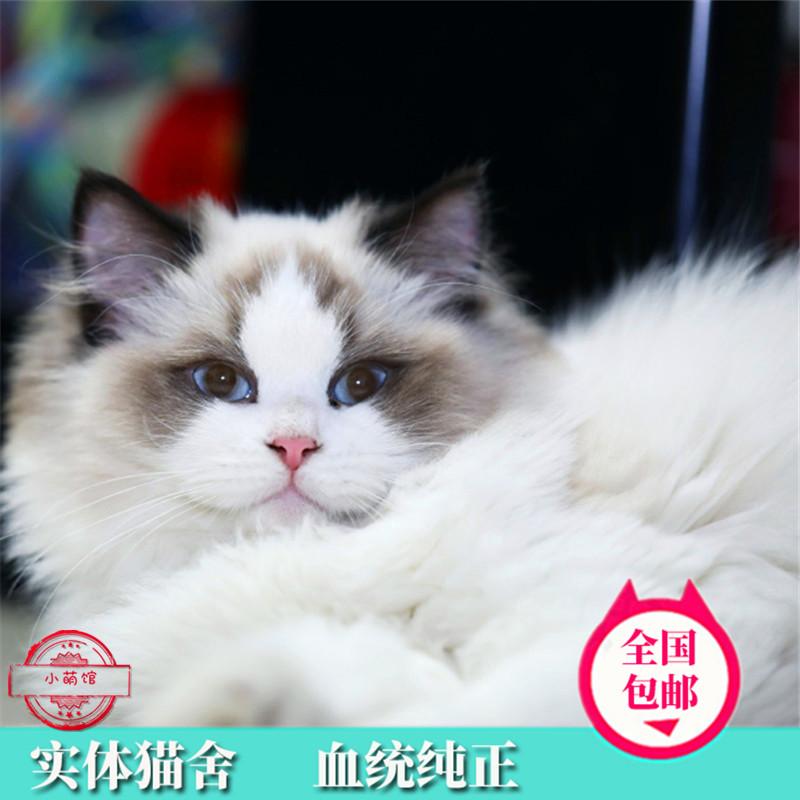 布偶猫纯种布偶猫布偶猫活体布偶猫幼猫仙女猫双色布偶猫宠物猫