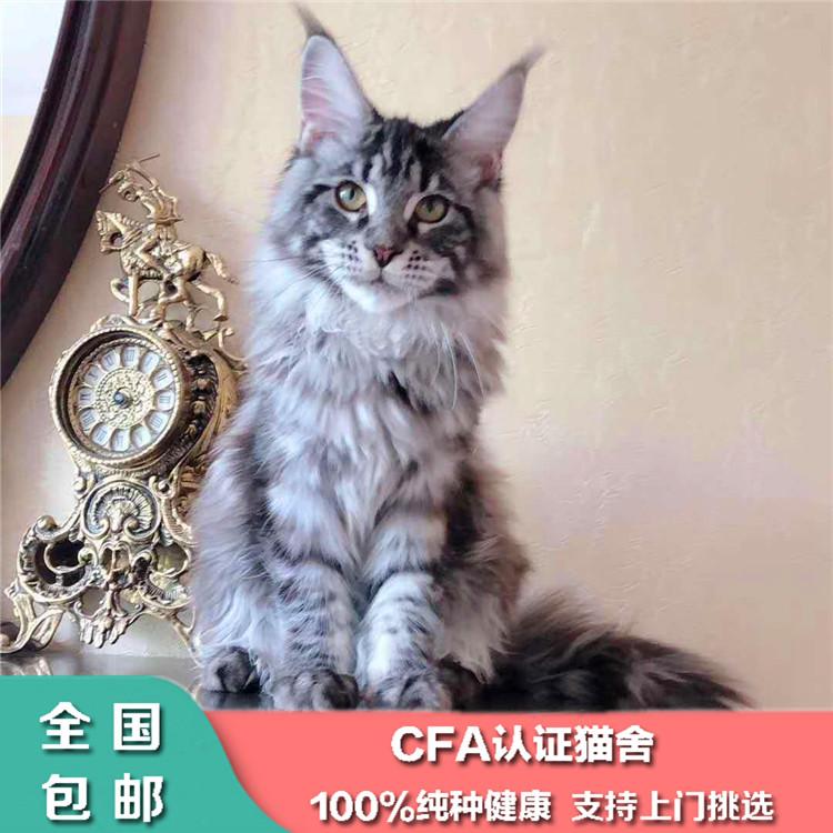 出售纯种缅因猫活体幼猫大型银虎斑缅因宠物猫幼崽巨型家养缅因猫图片