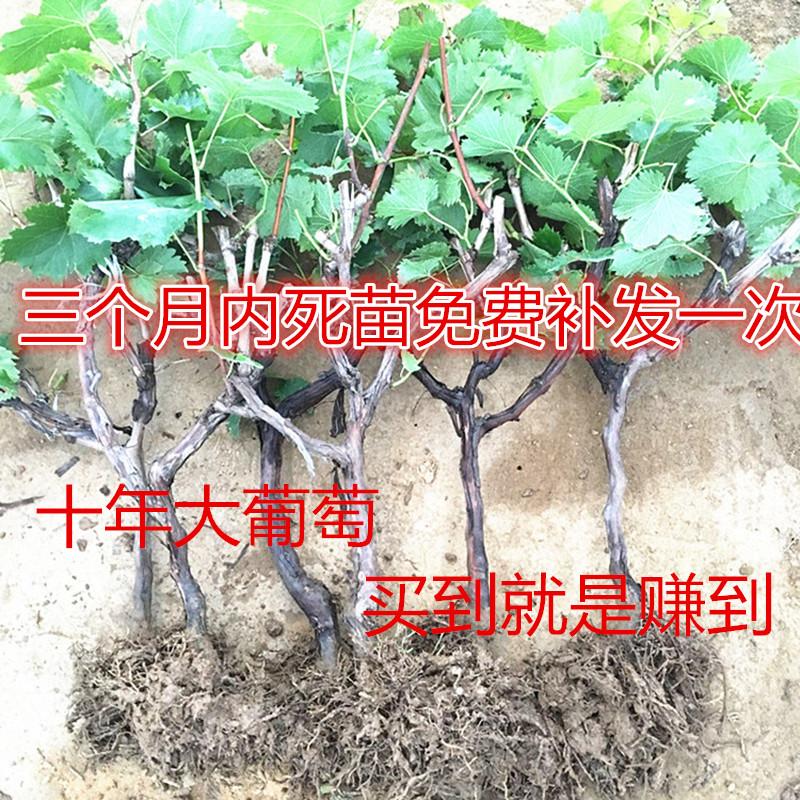 爬藤葡萄树苗果树嫁接葡萄苗南方北方种植包活盆栽大葡萄提子树苗
