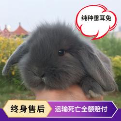 宠物兔子活物纯种兔子活体荷兰垂耳兔猫猫兔侏儒兔小兔子迷你易养