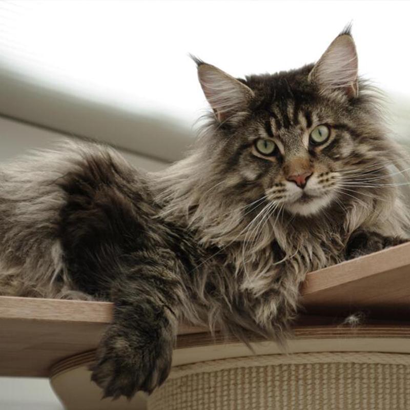 缅因猫幼猫活体纯种进口巨型幼崽猫小奶猫宠物猫活体大型猫咪可爱