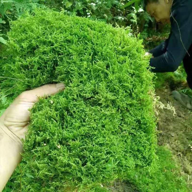 今は苔を採取して生き生きとした苔盆栽に苔を敷いています。