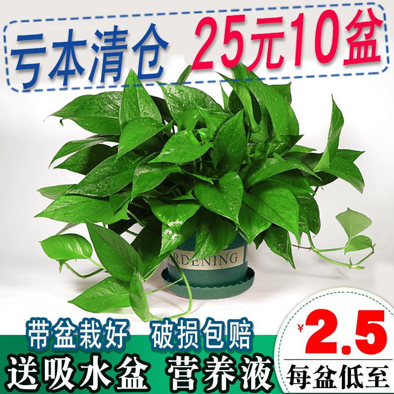 木之逸长藤绿萝盆栽植物室内垂吊大绿箩花卉水培绿植新房吸甲醛