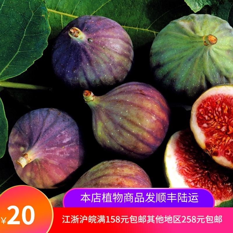 イチジクの鉢植え苗の紅潮日本の紫果多品種のベリー先生の一ガロン家庭の果物と野菜の苗
