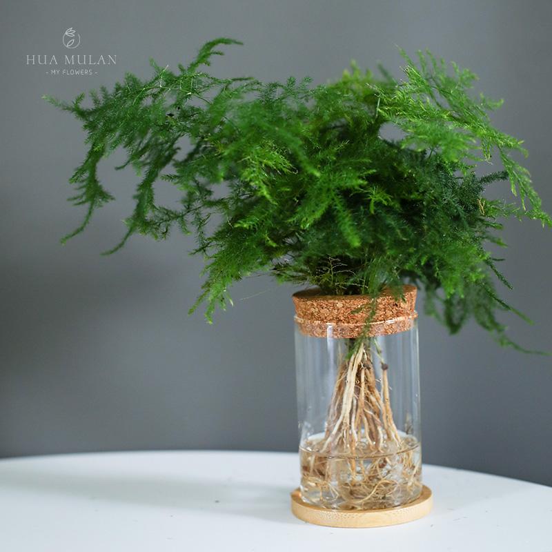 绿萝文竹琴叶榕水培植物盆栽室内办公室桌面吸甲醛九里香水养绿植