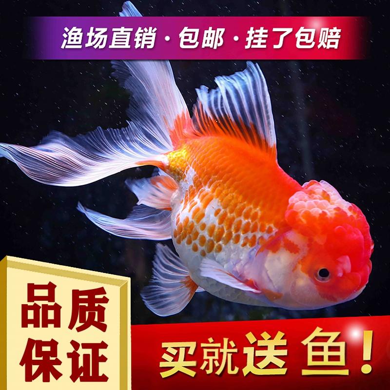 冷水观赏鱼狮子头金鱼活体好养耐活淡水大中小型鱼苗宠物鱼活体鱼
