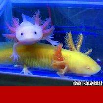 六角恐龙鱼淡水宠物蝾螈活体冷水耐活家养非锦鲤观赏热带鱼金鱼