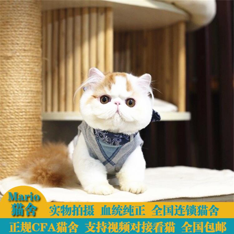 纯种加菲猫幼猫 异国短毛猫活体 净梵加菲宠物猫 黄白波斯猫幼崽图片