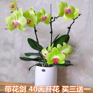 四季蝴蝶兰花苗客厅室内桌面阳台盆栽绿植花卉带花剑花苞开花不断