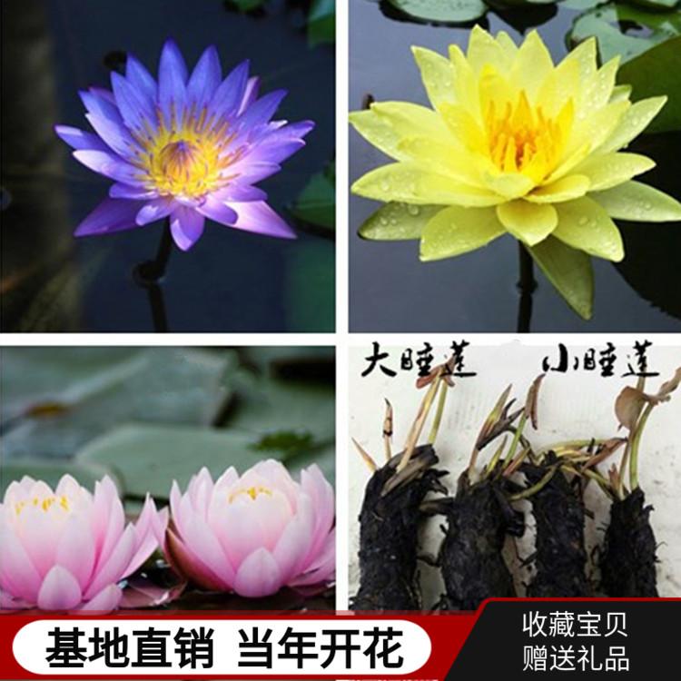 大睡莲花根块水培植物四季开花室内盆栽水养池塘碗莲荷花种藕花卉