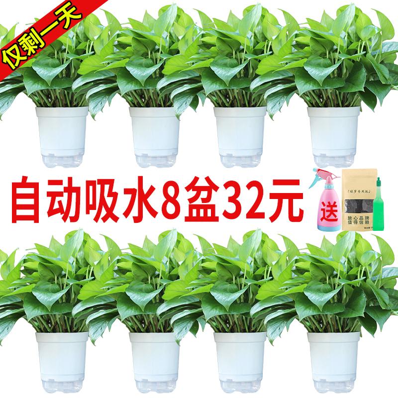 绿萝盆栽室内吸除甲醛净化空气花卉吊兰办公室绿植物水培长藤绿箩