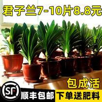 四季君子兰盆栽带花苞老苗大小苗花卉植物室内花绿植好养圆头和尚
