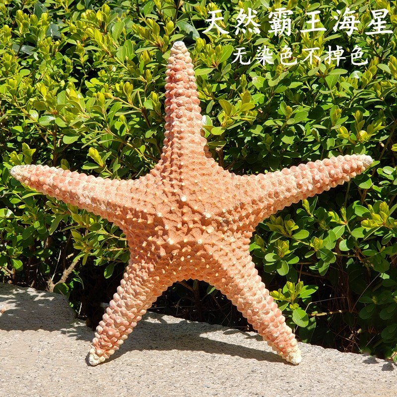 。 Large natural starfish specimen conch specimen large shell marine style decorative fish tank landscaping starfish wall
