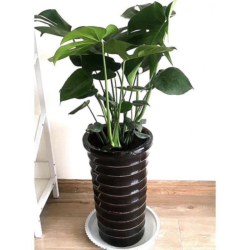 19款济南雅园花卉绿植济南市内免费送货装修去甲醛龟背竹室内盆