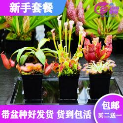 【新手套餐】食虫植物捕蝇草猪笼草瓶子草茅膏菜驱蚊草多肉盆栽