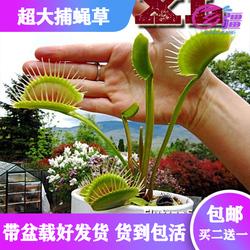 基地直销【超大捕蝇草】食虫植物猪笼草驱蚊草多肉植物绿植盆栽
