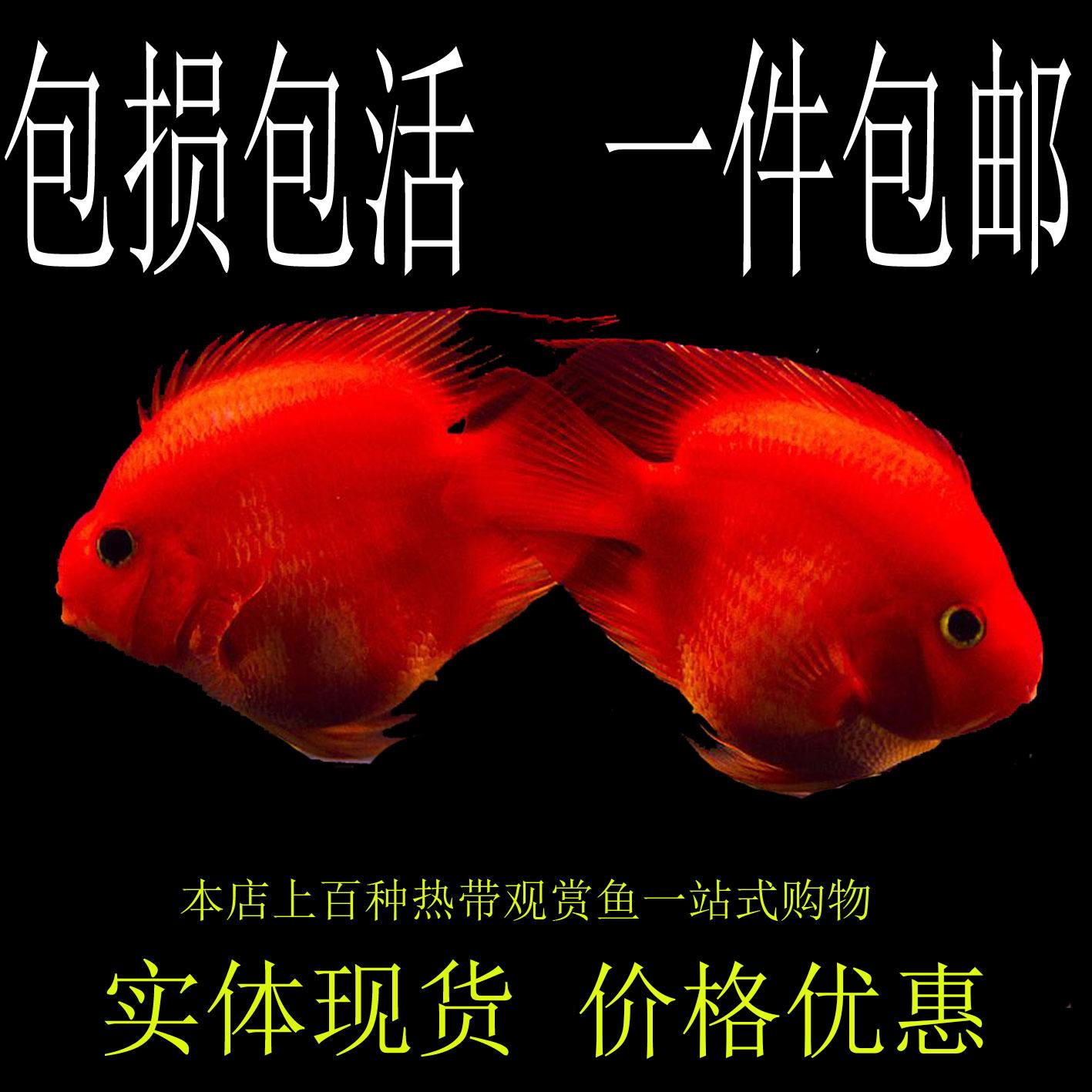 ~坷让鹦鹉鱼活体元宝鹦鹉财神风水鱼招财血鹦鹉金刚鹦鹉包损热。