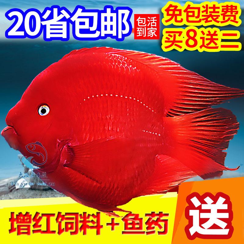 ~坷让热带观赏血鹦鹉鱼发财鱼活体中大小型鱼苗淡水元宝金刚红。
