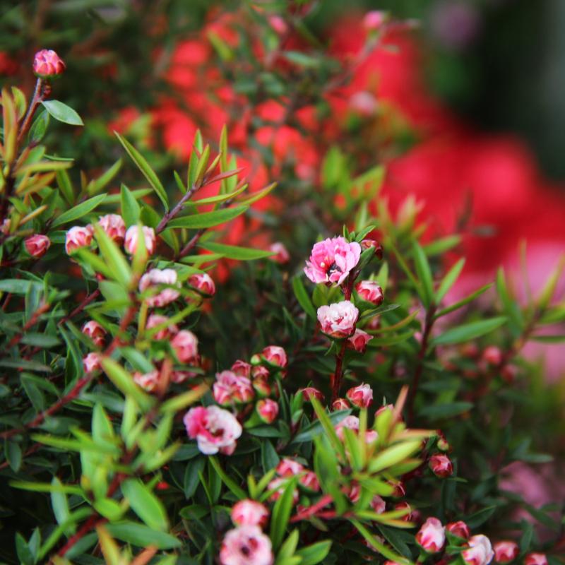 松红梅盆栽松雪梅澳洲梅四季开花腊梅花盆景多花好养耐寒年宵花卉