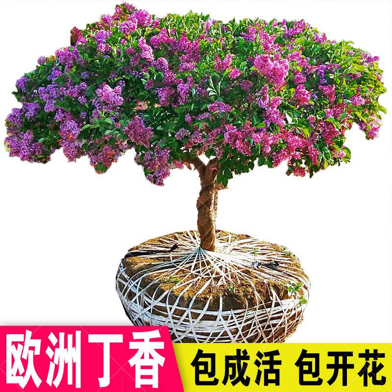 丁香花树苗浓香花苗花卉植物耐寒庭院绿化四季室外别墅紫丁香盆栽
