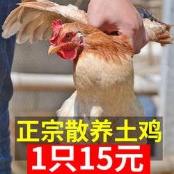 发2只土鸡正宗农家散养新鲜草鸡
