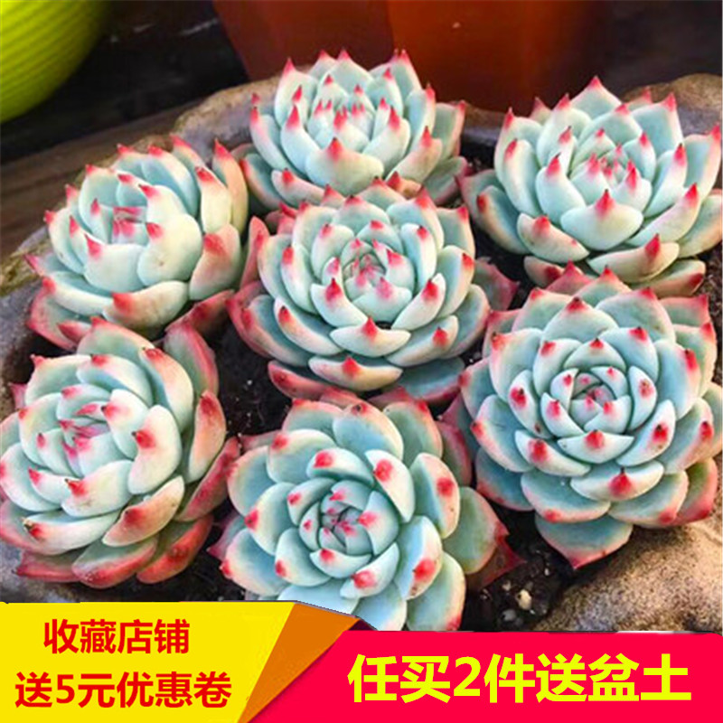 Qianyushou Chihuahua buy 2 pieces at will send pot soil succulent plant meat combination flower potted plant green plant fleshy
