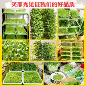 豆芽菜豌豆苗种植盘盆托带盖育苗盘