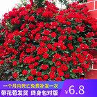 月季花苗特大花庭院阳台藤本植物花卉玫瑰盆栽蔷薇爬藤四季开花