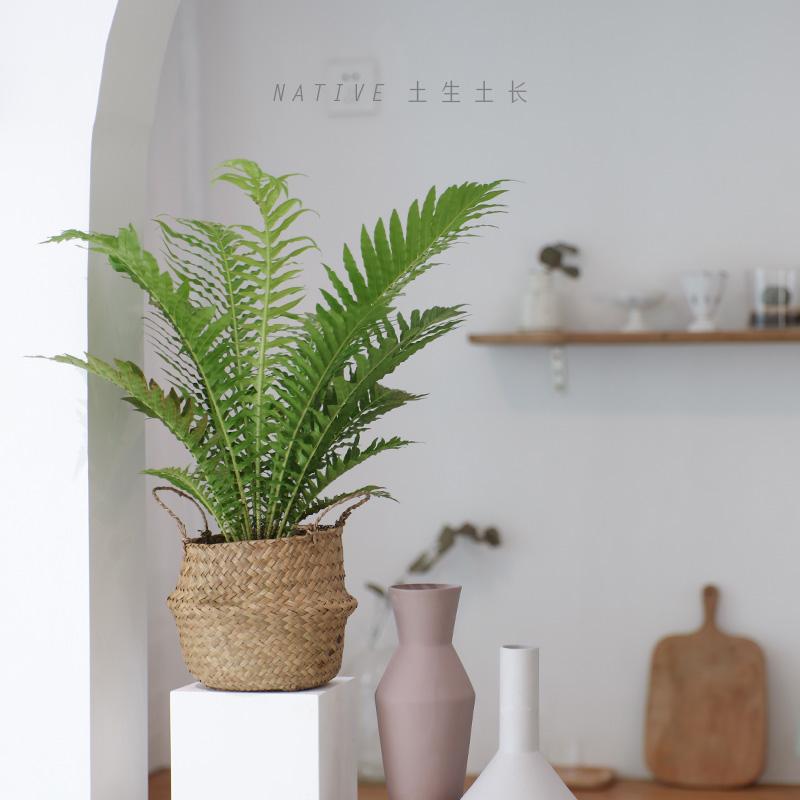 土生土长 蕨类植物富贵蕨盆栽吸甲醛净化空气桌面绿植富贵蕨