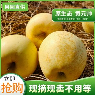 【黄元帅】山东烟台黄金帅苹果3斤5斤新鲜应当季水果批发包邮