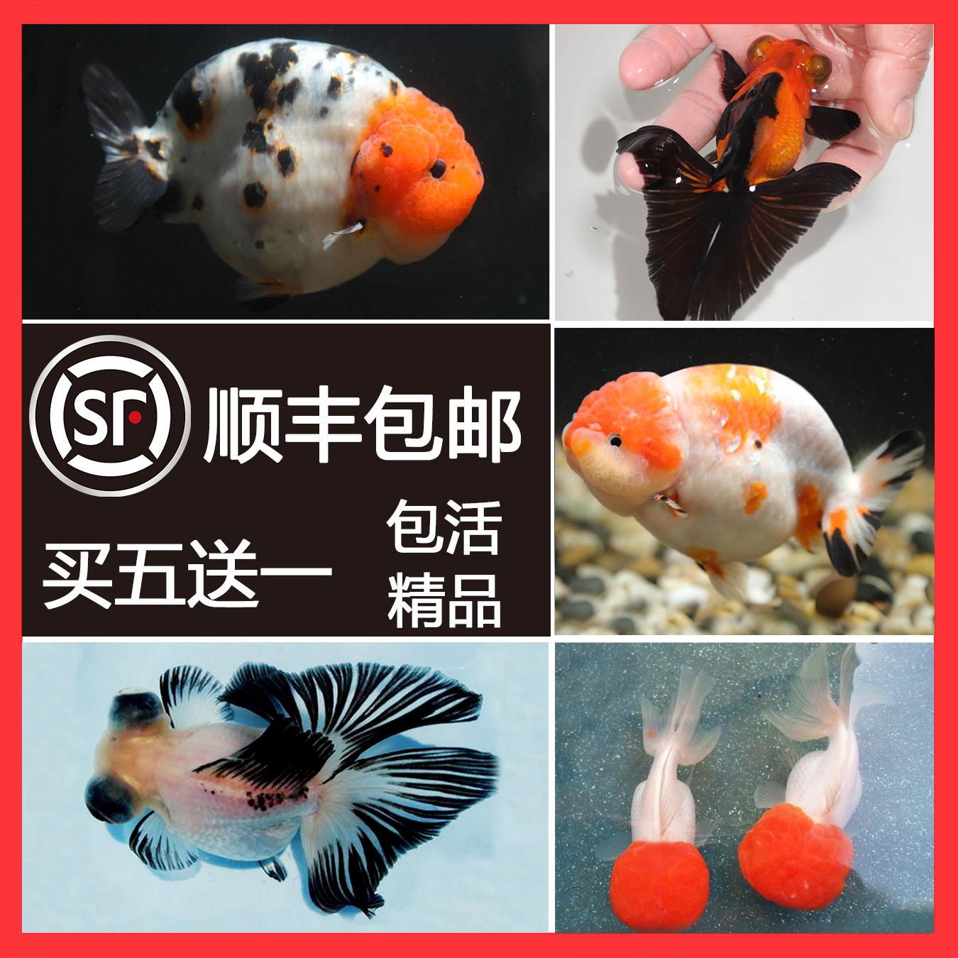 精品兰寿泰狮蝶尾狮子头水泡猫狮冷水鱼金鱼活体观赏鱼水族宠物
