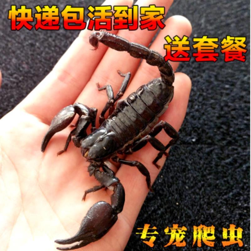 异宠彼得异蝎亚洲雨林蝎超大假帝王蝎蝎子活宠物成体热带爬宠全蝎图片