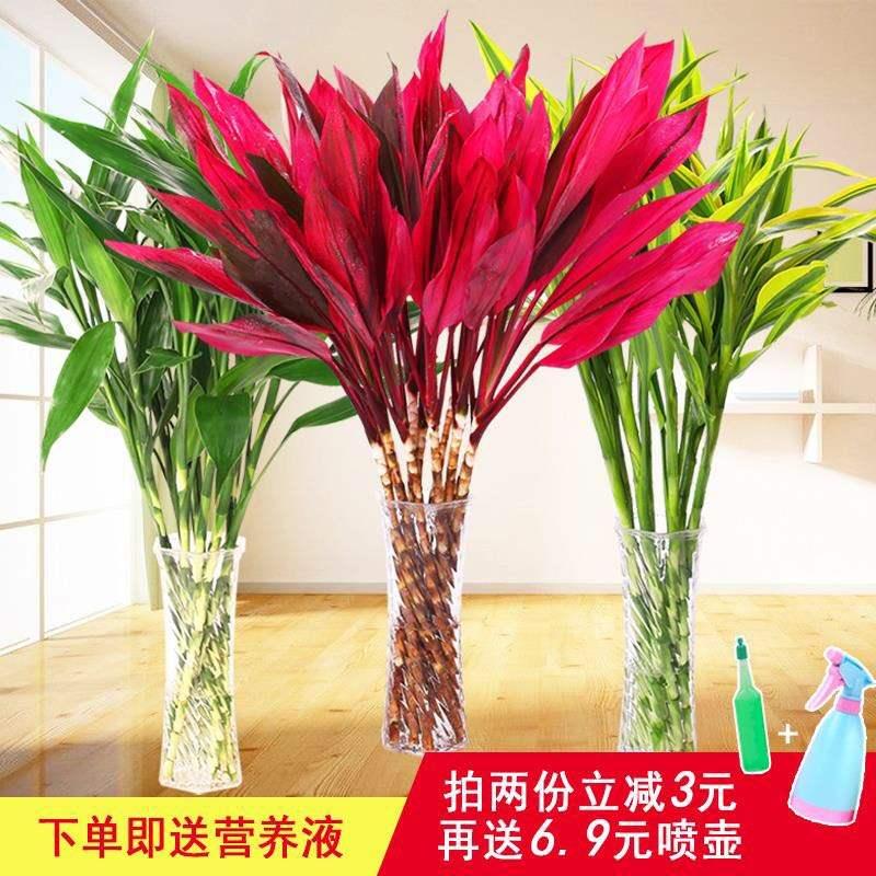 富贵竹水培植物包邮客厅室内转运竹紫株蕉龙竹净化空气水养盆栽。