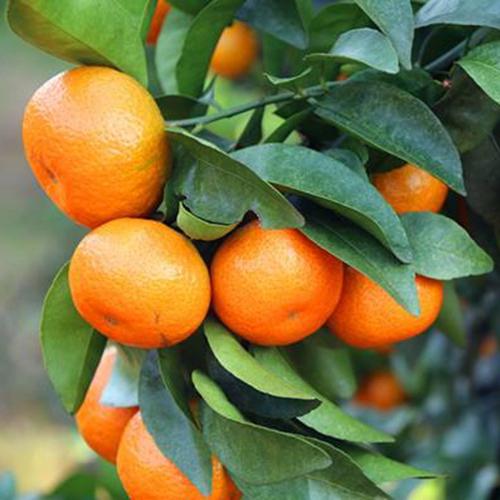 橘子树苗沙糖桔子正宗四会沙糖桔苗