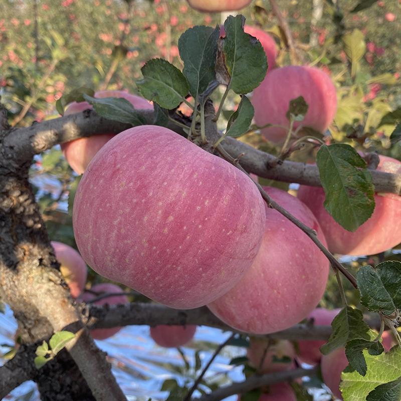 新鮮な摘み順豊は今煙台の栖霞の特産品の赤い富士のリンゴの果物を出します。