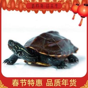 中华草龟 小乌龟活体外塘长寿龟宠物水龟金线龟活物龟墨龟草龟。