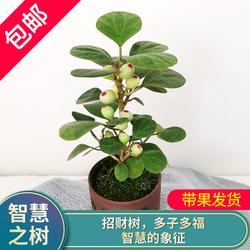 小盼菩提盆栽植物四季常青发财树